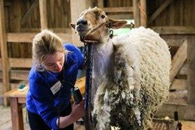 sheep-shear